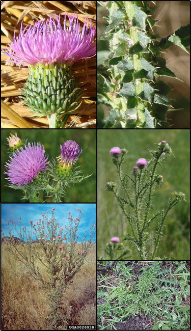 Spiny plumeless thistle