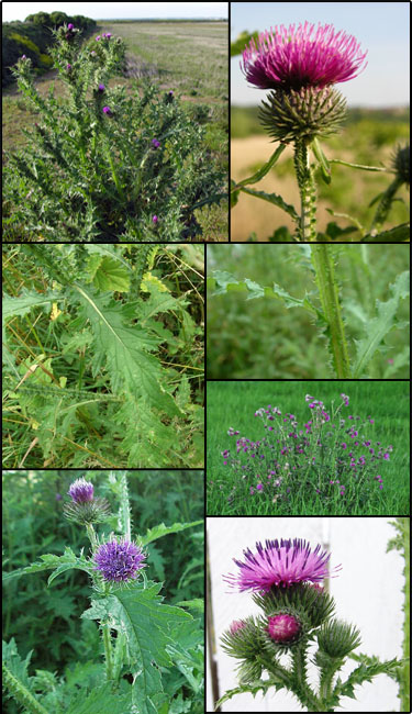 Curly plumeless thistle