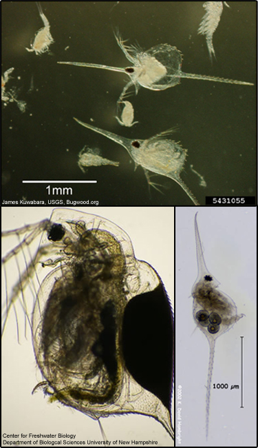 Water flea (D. lumholtzi)