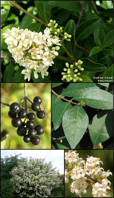 Plant European privet Ligustrum vulgare
