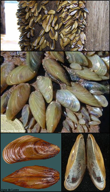 Golden mussel