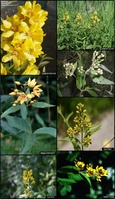 Garden yellow loosestrife