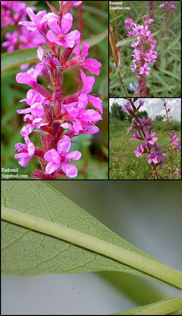 European wand loosestrife