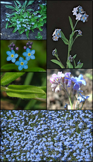 Woodland forget-me-not