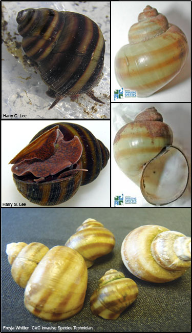 Banded mystery snail