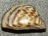 Quagga / Zebra mussels