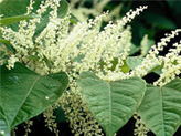 Japanese knotweed