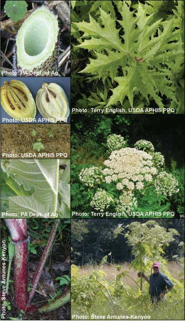 Giant Hogweed Michigan Map.Species Details Misin