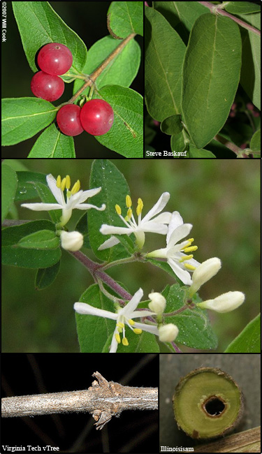Morrow's honeysuckle