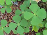 European waterclover