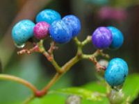 Porcelainberry